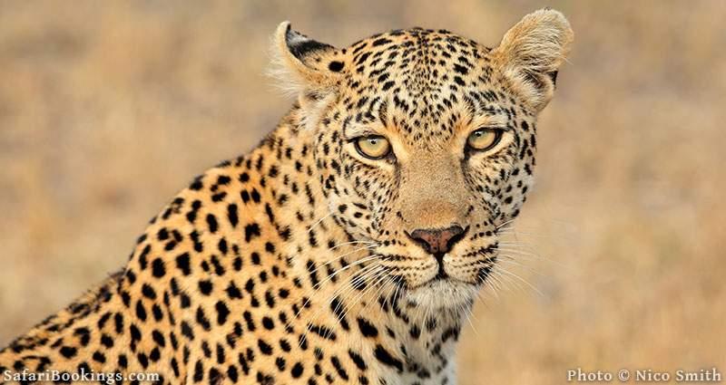 Leopard portrait at Sabi Sand Game Reserve, South Africa