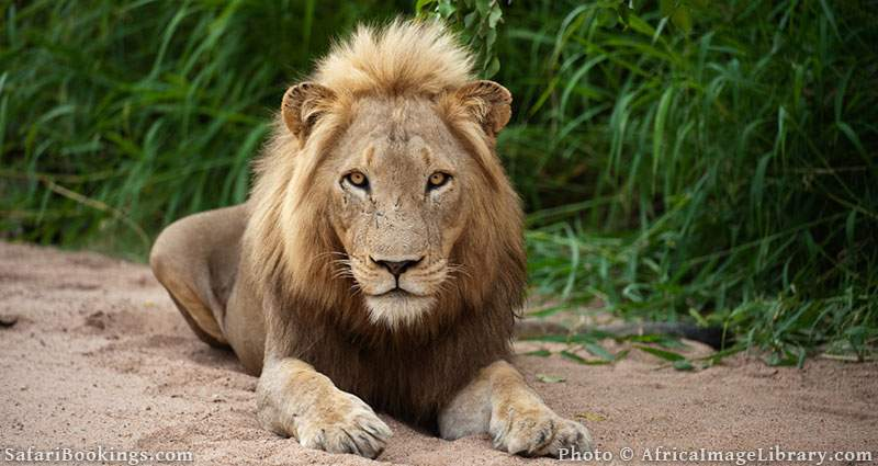 Lion at Timbavati Nature Reserve, South Africa