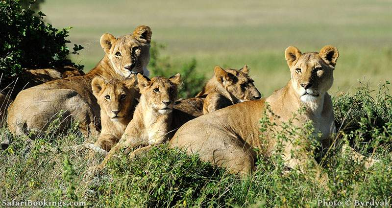 Lion pride with cubs resting at Masai Mara Game Reserve, Kenya