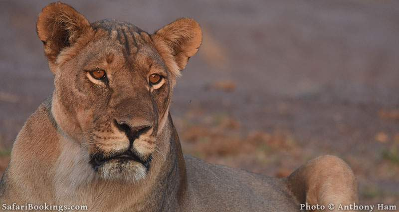 Lioness at Hwange National Park in Zimbabwe