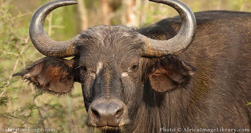 Buffalo at Akagera National Park, Rwanda