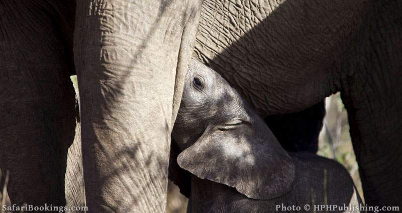 Baby Elephant drinking at Balule Nature Reserve, South Africa