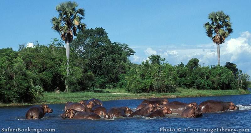 Hippos in the Victoria Nile below Murchison Falls, Uganda