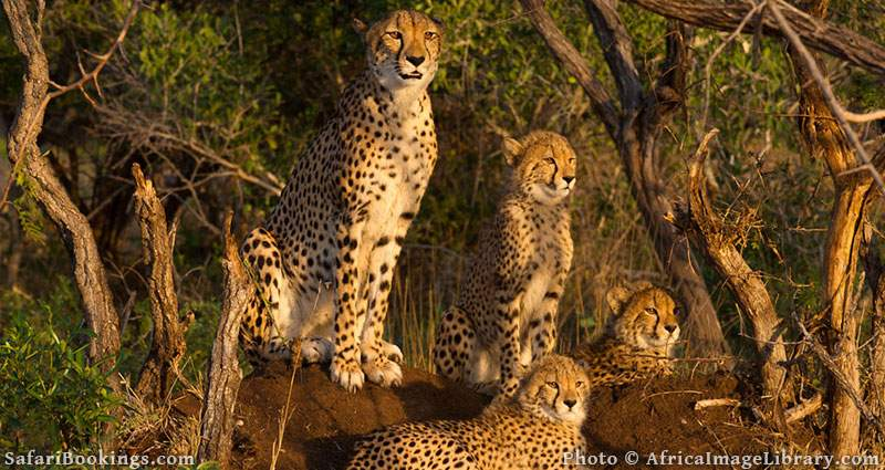 Cheetah with cubs at Phinda Game Reserve, South Africa
