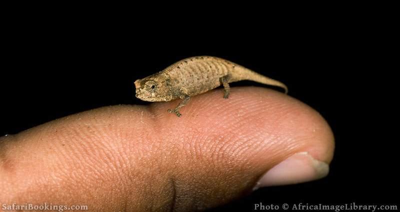 Mount d'Ambre leaf chameleon at Amber National Park, Madagascar
