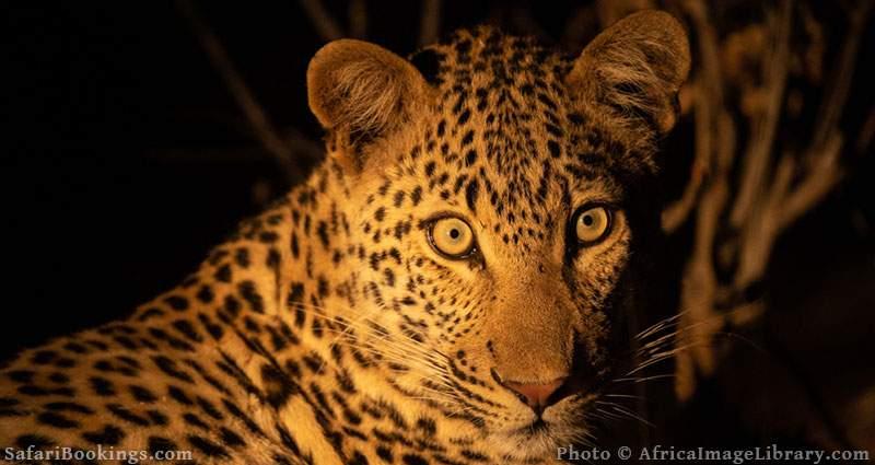 Leopard portrait at night