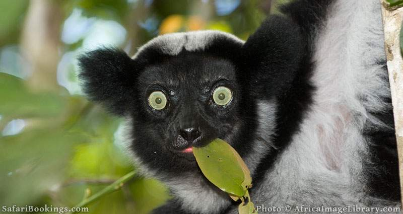 Indri eating a leaf at Andasibe-Mantadibe National Park, Madagascar