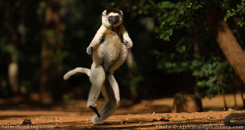 Verreaux's sifaka moving bipedally on the ground or dancing at Berenty Private Reserve, Madagascar