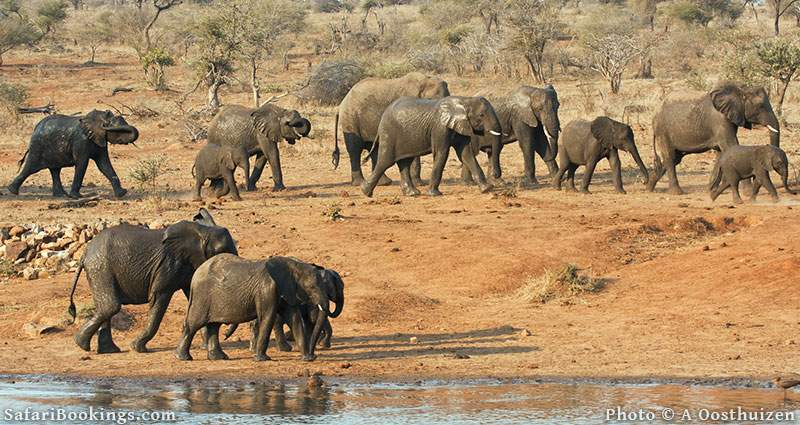 Elephant herd at a waterhole at Kruger National Park, South Africa