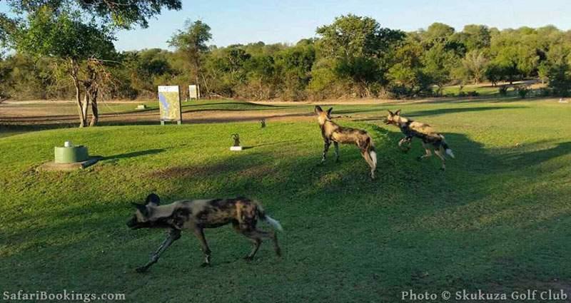 Wild dogs at Skukuza Golf Club