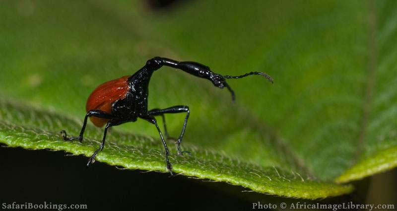 Giraffe-necked weevil at Ranomafana National Park, Madagascar