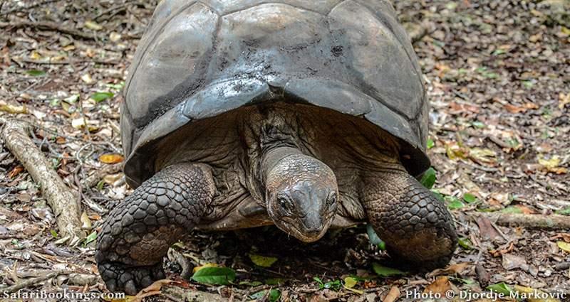 Giant tortoise at Changuu Island, Tanzania
