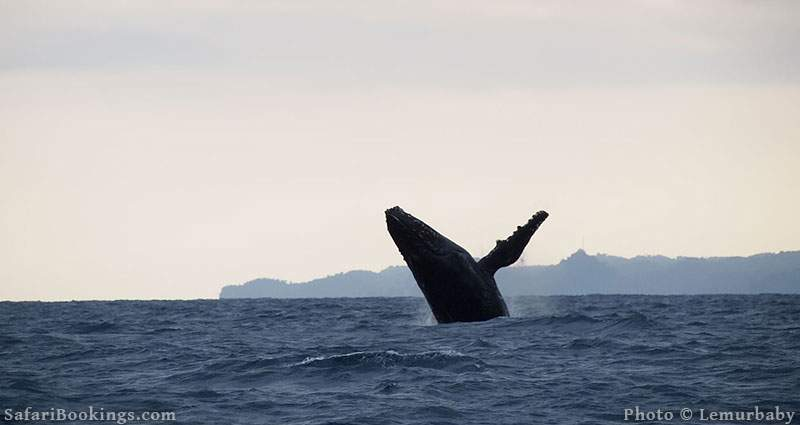 Humpback Whale at Saint Marie, Madagascar