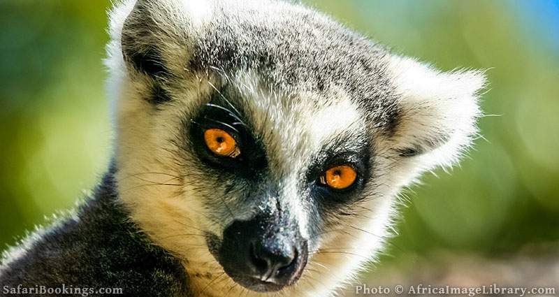 Ring-tailed lemur close-up at Anja Community Reserve, Madagascar