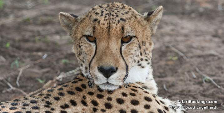 Close up of Cheetah at Emdoneni Cheetah Project