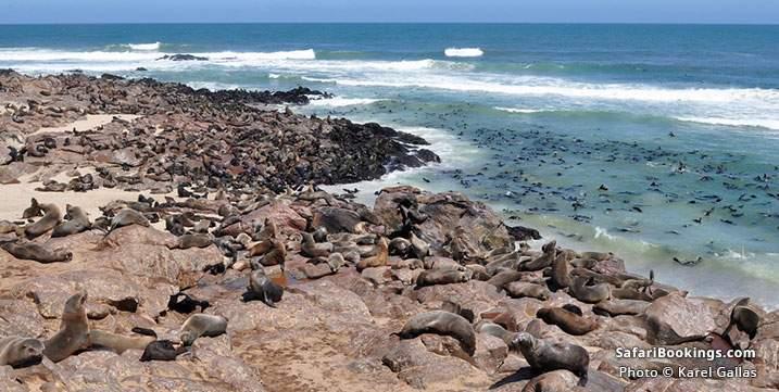 Colony of Cape fur seals at Cape Cross