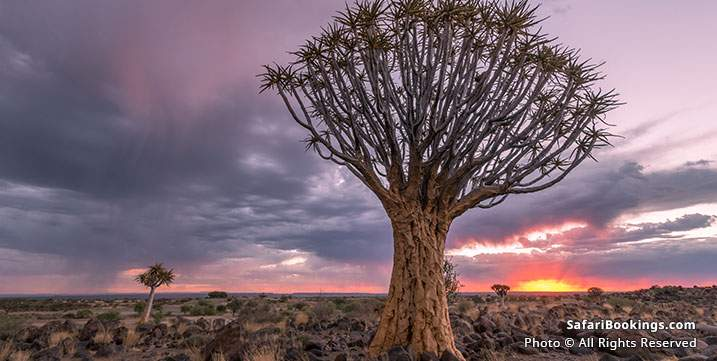 Quiver trees at Quiver tree forest, Namibia