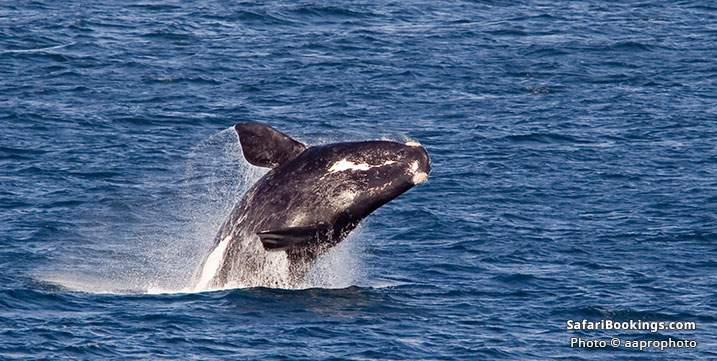 Southern right whale breaching, South Africa