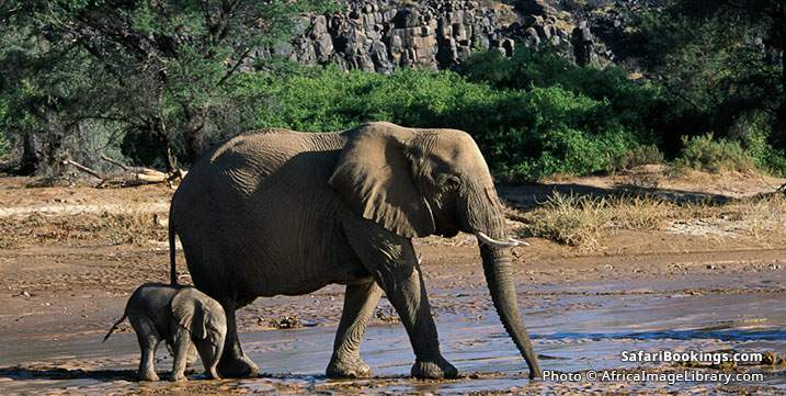 Desert elephants with young crossing Huab river, South Africa