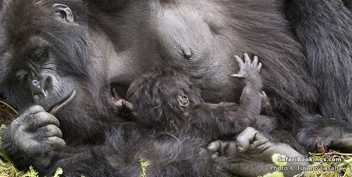 Mountain Gorilla mother with baby at Bwindi Impenetrable National Park in Uganda