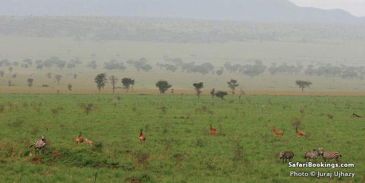 Zebras and hartebeests on the plain