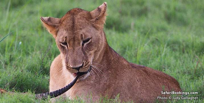 African Lion in Gorongosa National Park