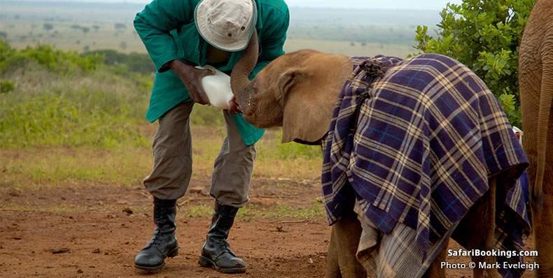 Elephant orphan fed by handler