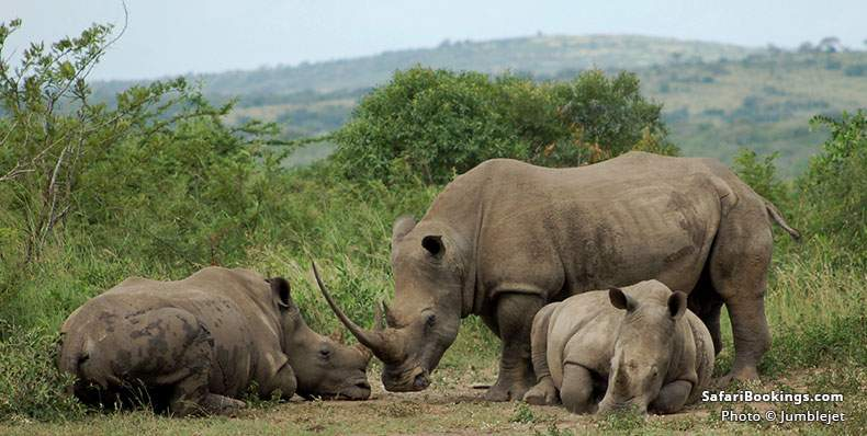 Rhino Grazing at Hluhluwe Umfolozi Park