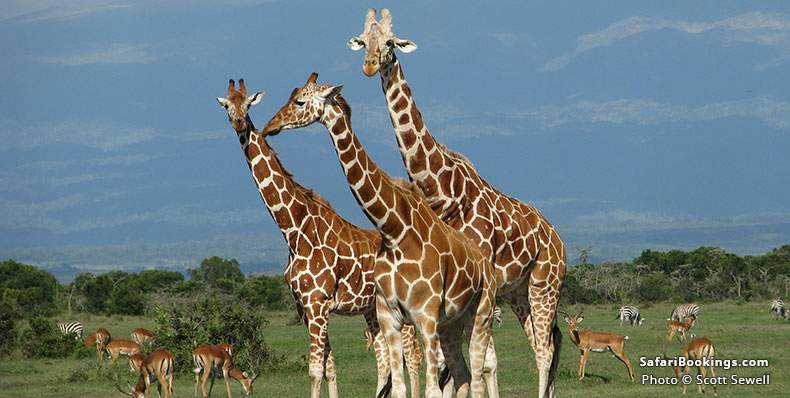 Reticulated Giraffes at Meru National Park
