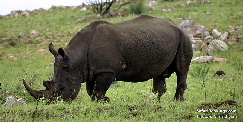 Rhino Grazing at Pongola Game Reserve