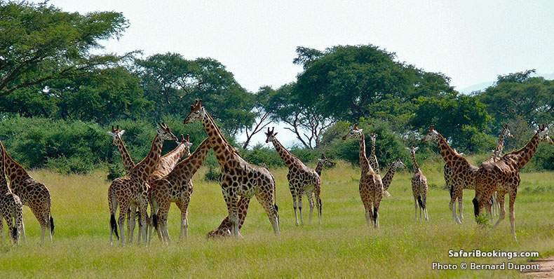 Rothschild's Giraffes at Murchison Falls, Uganda