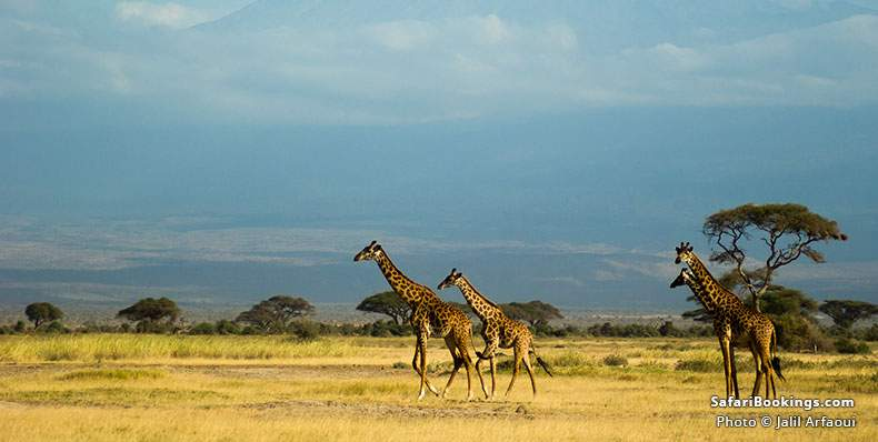 Four giraffes walking not that far from Africa's roof