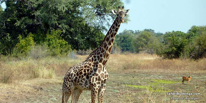 Thornicroft's Giraffe in Luangwa