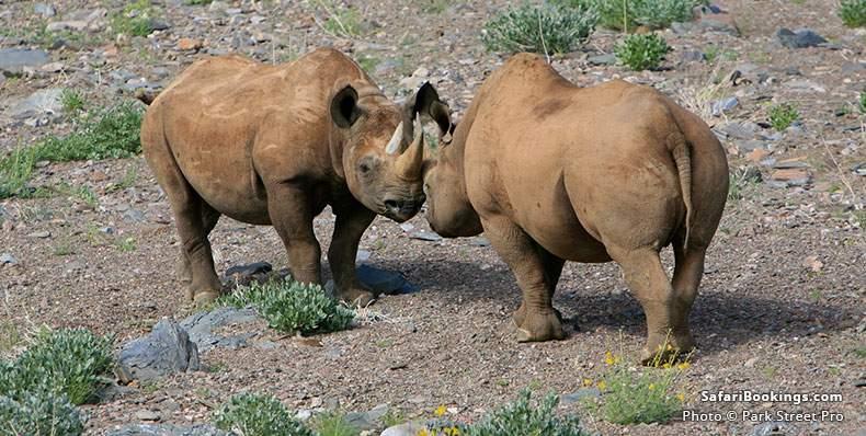Secret Rhino meeting in Damaraland