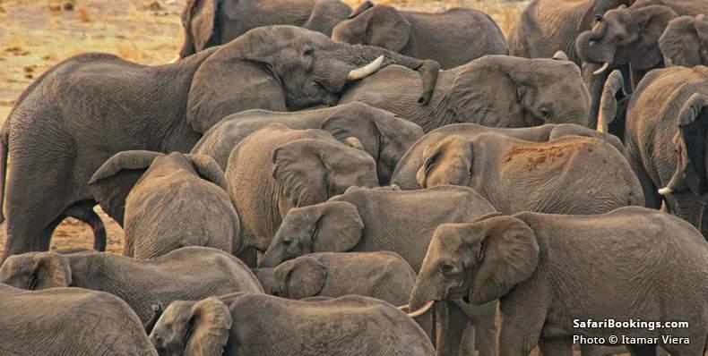 Elephants in Khaudum