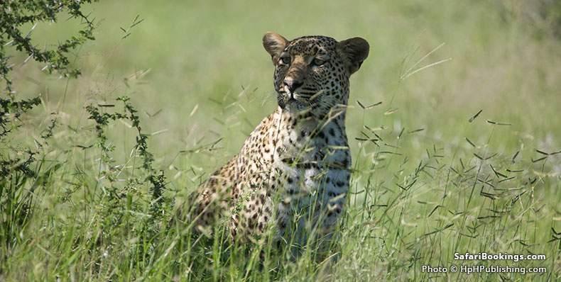 Leopard at Sabi Sand Game Reserve