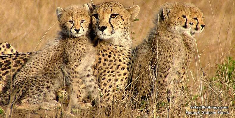 Cheetah family at Phinda Game Reserve