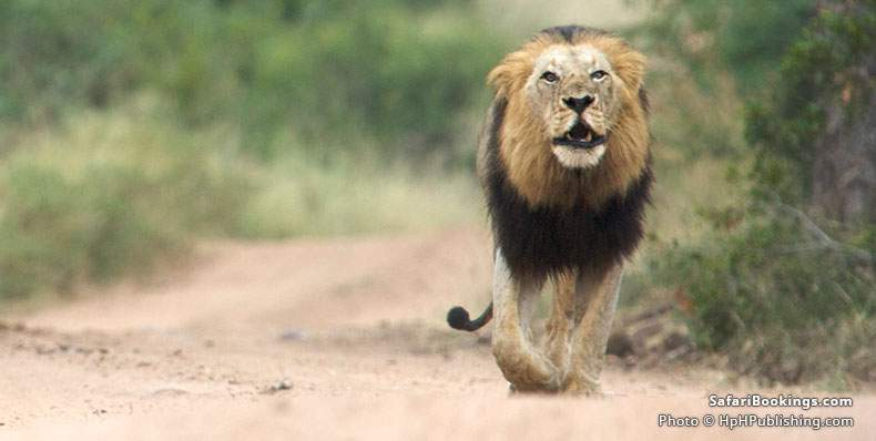 Male lion on the move at MalaMala Game Reserve