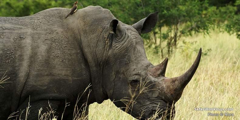 White Rhino at Manyeleti Game Reserve