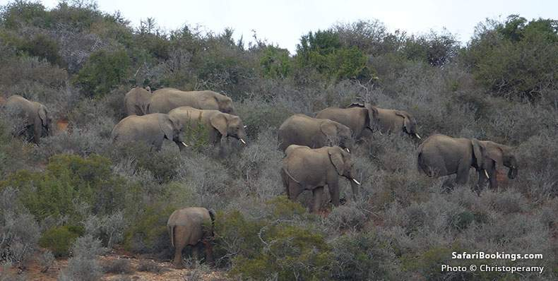Elephants at Kwandwe Game Reserve