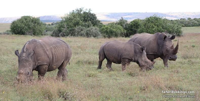 White Rhinos at Shamwari Game Reserve