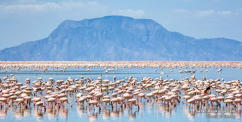 Flamingos feeding in the lake