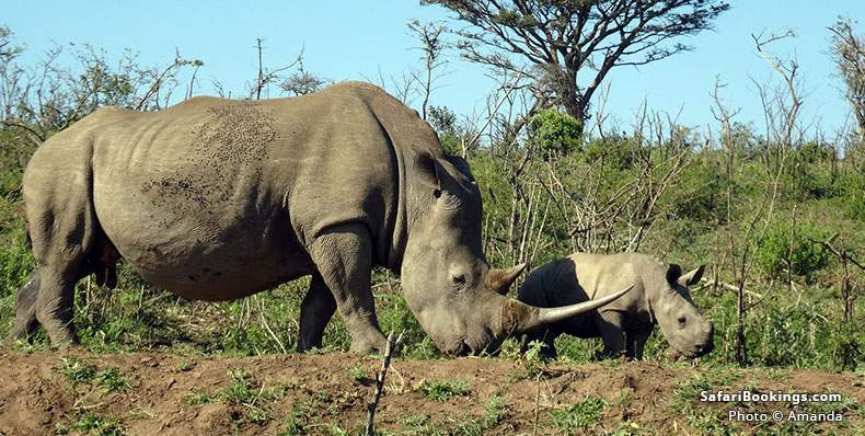 Rhino and baby at Hluhluwe Park