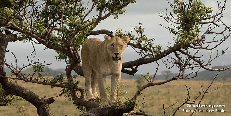 Lioness at Phinda Game Reserve