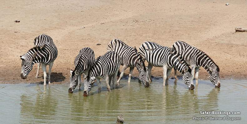 Plains Zebra drinking at uMkhuze Game Reserve