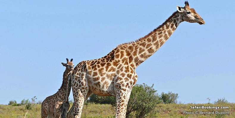 Giraffe with calf at Ithala game Reserve