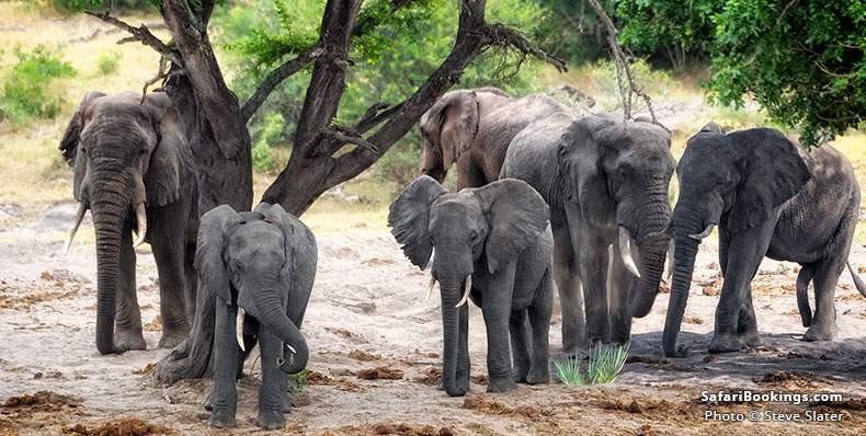 Tembe Elephants under a tree