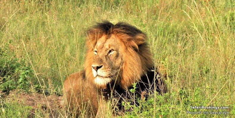 Lion at Nambiti Game Reserve