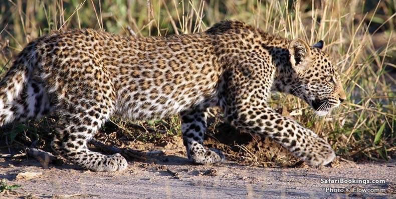 Leopard in MalaMala Game Reserve