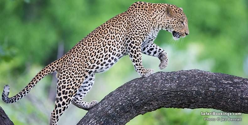 Leopard climbing a tree
